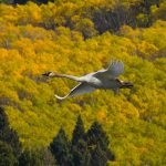 Trumpeter Swan in Yellowstone