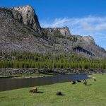 Madison River in Yellowstone with bison